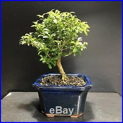 Bonsai Tree Kingsville Boxwood 10 Years Old, Vintage Japanese Blue Glazed Pot