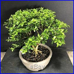 Bonsai Tree Kingsville Boxwood 12 Years 8 1/2 Tall New Japanese Pot Chop Mark