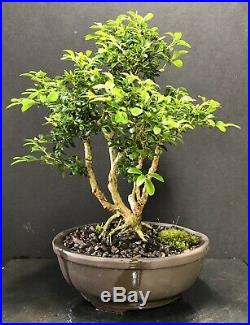 Bonsai Tree Kingsville Boxwood 18 Years From Cuttings, Quality Chinese Pot