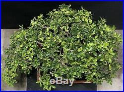 Bonsai Tree Kingsville Boxwood 21 Years 14 1/2 Tall High Fired Drip Glazed Pot