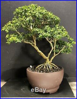 Bonsai Tree Kingsville Boxwood 30 Years From Cutting 13 5/8, Yixing Zisha Pot