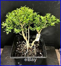 Bonsai Tree Kingsville Boxwood Pre Bonsai 14 Years Old Ready To Pot As Bonsai