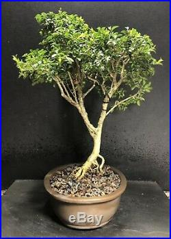 Bonsai Tree Kingsville Boxwood Pre Bonsai 16 Years, Japanese Oval Unglazed Pot