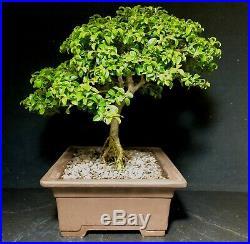 Bonsai Tree Kingsville Boxwood Shohin 15 Years Old 8 1/4 Tall, Japanese Pot