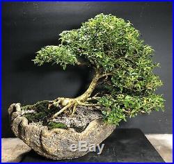 Bonsai Tree Kingsville Boxwood in a Kurama Style Scoop Pot 31 Years, 12 3/4tall