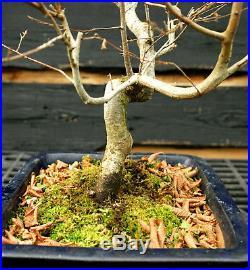 Bonsai Tree Korean Hornbeam KB-1215B