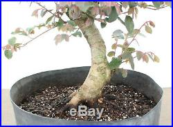 Bonsai Tree, Loropetalum, Flowering Colorful Species, Super developed nebari