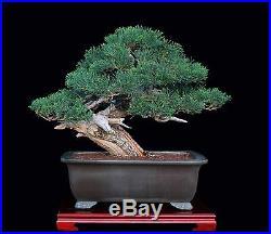 Bonsai Tree Masterpiece Juniper by Artist Mauro Stemberger in Tokoname Pot