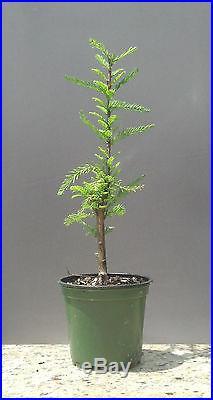 Bonsai Tree, Montezuma Cypress, Taxodium mucronatum, Live Tree! Starter tree