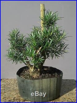 Bonsai Tree, Old Collected Podocarpus, Wonderful Nebari and branching! #3