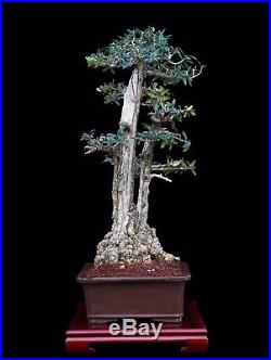 Bonsai Tree Old Indoor/outdoor Twin Trunk Olive With 9 Base