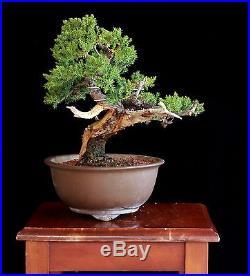 Bonsai Tree Old Shohin Japanese Juniper (Procumbens Nana) with 2 Trunk