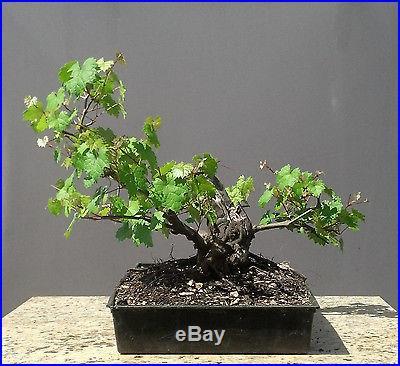 Bonsai Tree, Old Wild Muscadine Grape, Fantastic Prebonsai, Vitis rotundifolia
