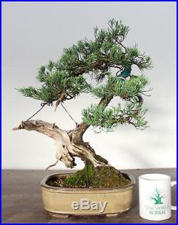 Indoor Bonsai Bonsai Tree Parsoni Juniper Finished Bonsai Amazing Deadwood Unusual Style Http Indoorbonsai Biz