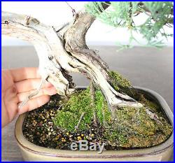 Bonsai Tree, Parsoni Juniper, Finished Bonsai, Amazing Deadwood, Unusual Style