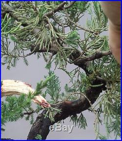 Bonsai Tree, Parsoni Juniper, Greatr Trunk Movement, No reserve Auction