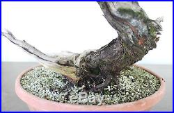 Bonsai Tree, Parsoni Juniper, Super Prebonsai, Amazing Live Vein + Deadwood