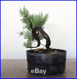 Bonsai Tree, Parsoni Juniper, Super Prebonsai, Amazing Live Vein + Deadwood #2