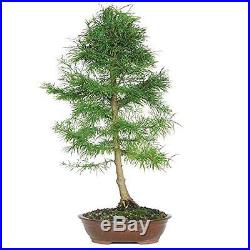 Bonsai Tree Plant Golden Larch Great Spring Foliage 10 Years Best Gift Pot NEW
