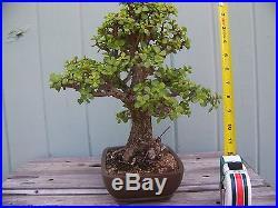 Bonsai Tree Portulacaria Jade Pre-Bonsai