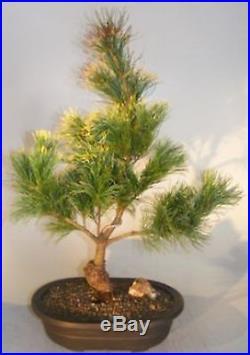 Bonsai Tree Pots Japanese White Pine Bonsai Tree- Large 16 Years Old 24 E3326