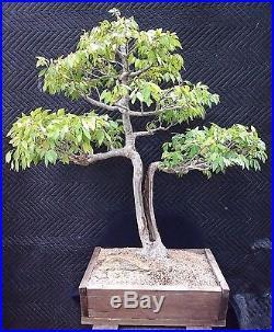 Bonsai Tree Prize Winning Japanese Elm