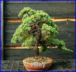 Bonsai Tree Pro Nana Green Mound GMJ-1215A