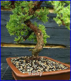 Bonsai Tree Pro Nana Green Mound GMJ-201E