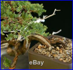 Bonsai Tree Pro Nana Juniper Pacific Blue Cascade GMJC-1208