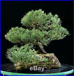 Bonsai Tree Pro Strada Juniper Lacerock Planting PJLR-1028