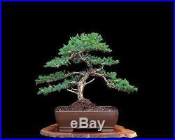 Indoor Bonsai :: Bonsai Tree San Jose Juniper (Juniperus