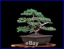 Bonsai Tree San Jose Juniper (Juniperus Chinensis'san jose) in Yixing Clay Pot