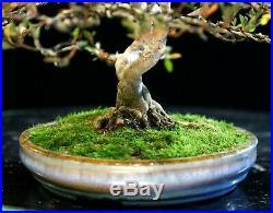 Bonsai Tree Satsuki Azalea Chojuho Specimen SACST-1212