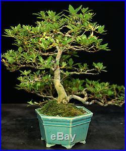 Bonsai Tree Satsuki Azalea Chojuho Specimen SACST-913