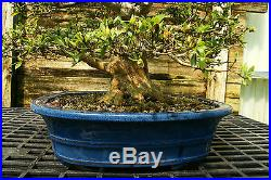 Bonsai Tree Satsuki Azalea Hekisui Specimen SAHST-424F