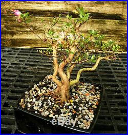 Bonsai Tree Satsuki Azalea Hi-No-Maru SAH-502H