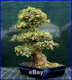 Bonsai Tree Satsuki Azalea Kaho Specimen SAKST-1215B