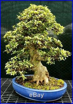 Bonsai Tree Satsuki Azalea Kaho Specimen SAKST-226A