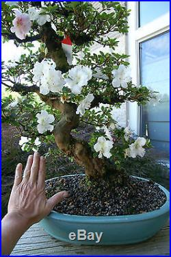 Bonsai Tree Satsuki Azalea Kaho Specimen SAKST-519A