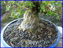 Bonsai Tree Satsuki Azalea Kaho Specimen SAKST-519C