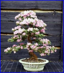 Bonsai Tree Satsuki Azalea Kakuo Specimen SAKST-429A