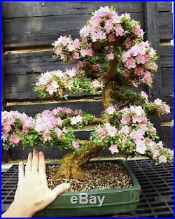Bonsai Tree Satsuki Azalea Kakuo Specimen SAKST-429B
