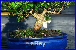 Bonsai Tree Satsuki Azalea Kegon SAK-509A