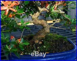 Bonsai Tree Satsuki Azalea Kegon SAK-509E
