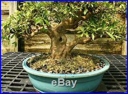 Bonsai Tree Satsuki Azalea Kinsai Specimen SAKST-424E