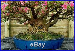 Bonsai Tree Satsuki Azalea Korin Specimen SAKST-503A