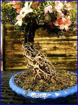 Bonsai Tree Satsuki Azalea Nikko Specimen SANST-508B