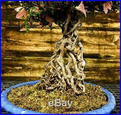 Bonsai Tree Satsuki Azalea Nikko Specimen SANST-508C