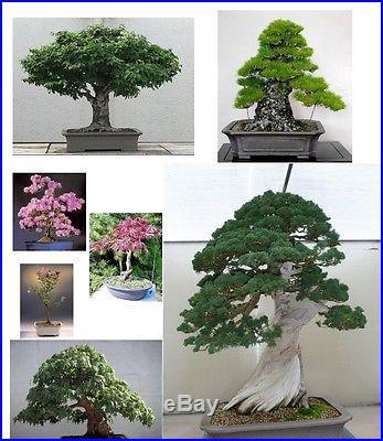 Bonsai Tree Seeds Mixed Pack-Conifers/Deciduous/Flowering-BEST BONSAI SELECTION