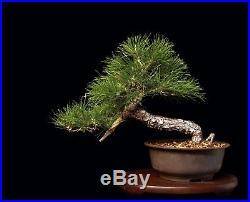 Bonsai Tree Semi Cascade Mikawa Japanese Cork Bark Black Pine